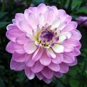 'Figurine' is a small-flowered, waterlily type dahlia with an erect habit.  Its divided leaves are dark-green.  In summer and autumn it bears double, purplish-pink flowers flushed with dark-purple. Dahlia 'Figurine' added by Shoot)