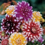 'Pinwheel Mix' a perennial with divided dark-green leaves and double flowers in shades of fuchsia, violet rose, lemon yellow and scarlet red, all with white tips, in summer. Dahlia 'Pinwheel Mix' added by Shoot)