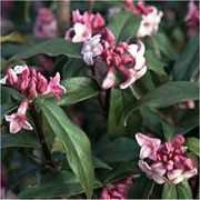 'Jacqueline Postill' is a semi-evergreen, medium-sized shrub with leathery, glossy leaves, and highly fragrant purple-pink and white flowers in late winter, followed by black berries. Daphne bholua 'Jacqueline Postill' added by Shoot)