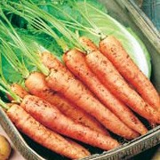 D. carota ssp. sativus is a perennial plant widely cultivated as an annual in many varieties. It has lacy green foliage and long conical orange edible roots. Daucus carota ssp. sativus added by Shoot)