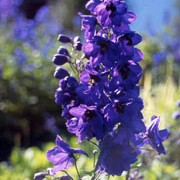 'Black Knight' are tall perennials with dense flower spikes of semi-double, dark purple flowers with black 'eyes' in summer. Delphinium 'Black Knight' added by Shoot)