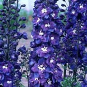 'King Arthur' is a tall perennial with dense flower spikes of semi-double, rich blue flowers with white 'bees' in summer. Delphinium 'King Arthur' added by Shoot)