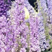 'Tiddles' is a perennial with an erect habit.  Its divided foliage is dark-green.  In summer it bears racemes of double, grey-mauve flowers. Delphinium 'Tiddles' added by Shoot)