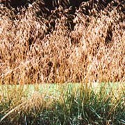 'Bronzeschleier' is a clump-forming evergreen grass with  stiff, linear dark green leaves and open, arching panicles of light bronze spikelets in summer. Deschampsia cespitosa 'Bronzeschleier' added by Shoot)