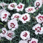 'Brilliant Star' is a dwarf perennial with semi-double white flowers and a red eye in summer. Dianthus 'Brilliant Star' added by Shoot)