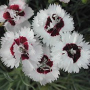 'Dainty Dame' is a perennial with a short, bushy habit.  Its narrow foliage is grey-green.  In summer it bears fragrant, single, white flowers with maroon eyes. Dianthus 'Dainty Dame' added by Shoot)
