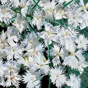 'White Lace' are low growing perennials with masses of fringed, pure white flowers in summer. Dianthus plumaris 'White Lace' added by Shoot)
