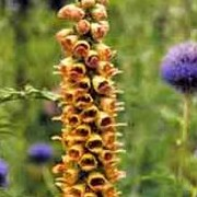 Digitalis ferruginea added by Shoot)