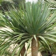 Dracaena draco added by Shoot)