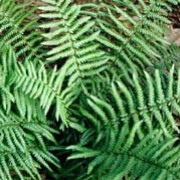 Dryopteris affinis added by Shoot)
