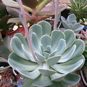 Echeveria secunda var. glauca added by Shoot)