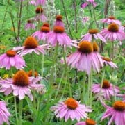 Echinacea purpurea added by Shoot)