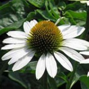 'White Swan' forms solitary, white daisy-like flower-heads with yellow central disks. Echinacea purpurea 'White Swan' added by Shoot)