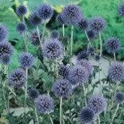'Taplow Blue' is an upright, architectural perennial with divided, prickly leaves which are whitish beneath and rounded, bristly powder-blue pompon flowers in summer. Echinops bannaticus 'Taplow Blue' added by Shoot)