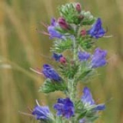 Echium vulgare added by Shoot)