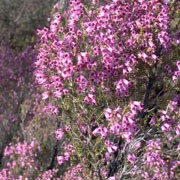Erica australis added by Shoot)
