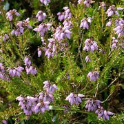 'Fiddler's Gold' is a spreading, mat-forming, evergreen shrub with red-tipped, yellow foliage which turns greener in summer.  It bears mauve-pink flowers in summer and early autumn. Erica cinerea 'Fiddler's Gold' added by Shoot)