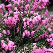 'Furzey' is a compact, dwarf, evergreen shrub with dark-green foliage tipped with pink in spring.  It bears rose-pink flowers in spring and winter which deepen with age. Erica x darleyensis 'Furzey' added by Shoot)