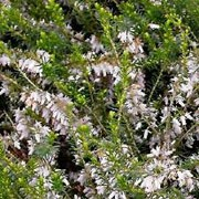 'White Perfection' is a vigorous, spreading, dwarf evergreen shrub with bright green foliage.  It bears pure white flowers in late winter through spring. Erica x darleyensis 'White Perfection' added by Shoot)