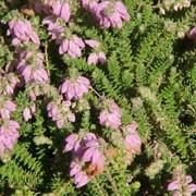 'Dawn' is a compact, spreading, dwarf evergreen shrub with golden yellow foliage that is flushed red when young.  It bears dark-pink flowers in summer and autumn. Erica x watsonii 'Dawn' added by Shoot)