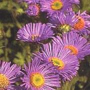 'Prosperity' has mauve daisy-like flowers with yellow disc-florets in the center.  Erigeron 'Prosperity' added by Shoot)