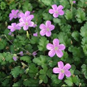 'Roseum' is a low, mat-forming perennial with dark grey-green, lobed leaves and small dark-pink veined flowers in summer. Erodium x variabile 'Roseum' added by Shoot)