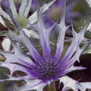 'Picos Blue' is a thistle like perennial, with deeply cut, grey-green leaves and blue-green, turning to lilac-blue, flowers on branching, wiry stems. Eryngium bourgatii 'Picos Blue' added by Shoot)