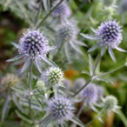 'Blauer Zwerg' forms clumps of branched stems, and cone-like, lilac-blue flowerheads with spiny bracts in late summer. Eryngium planum 'Blauer Zwerg' added by Shoot)