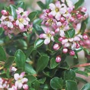 'Apple Blossom' is a compact, evergreen shrub with small, glossy dark green leaves.  It bears small pink and white flowers from early summer.