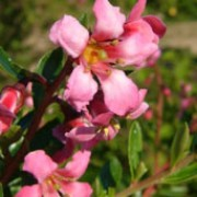 'Langleyensis' is a mid-sized, evergreen shrub with small, glossy, dark-green leaves.  It bears rose-pink flowers in early summer. Escallonia 'Langleyensis' added by Shoot)