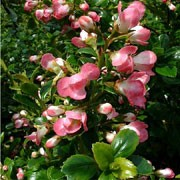 'Peach Blossom' is a bushy, evergreen shrub with small, glossy, dark-green leaves.  It bears clusters of clear pink flowers from early summer. Escallonia 'Peach Blossom' added by Shoot)