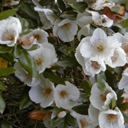 'Nymansay' is a vigorous evergreen tree with glossy, dark green leaves and large white flowers white with prominent stamens in late summer and autumn. Eucryphia x nymansensis 'Nymansay' added by Shoot)