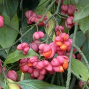 Euonymus europaeus added by Shoot)