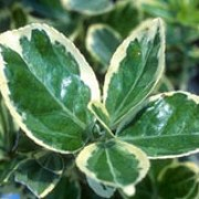 'Silver Queen' is a bushy, evergreen shrub with dark-green leaves with white margins which become tinged with pink in winter.  It bears inconspicuous pale-green flowers in summer, occasionally followed by pale-pink and orange fruits in autumn.  Will climb if planted next to a wall. Euonymus fortunei 'Silver Queen' added by Shoot)