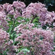 Eupatorium purpureum subsp maculatum 'Atropurpureum' added by Shoot)
