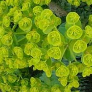 Euphorbia myrsinites added by Shoot)