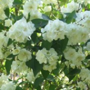 'The Bride' is a deciduous shrub with arching branches with oblong leaves and racemes of small white flowers in late spring. Exochorda x macrantha 'The Bride' added by Shoot)