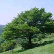 Fagus sylvatica added by Shoot)