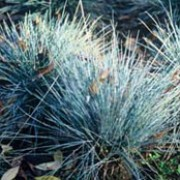 'Blaufuchs' is a distinctive ornamental grass with steel-blue, needle-like foliage. Festuca glauca 'Blaufuchs' added by Shoot)