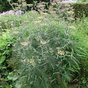 'Giant Bronze' is a tall annual with feathery, bronze-purple leaves and flat-topped, sulphur-yellow flowerheads in mid- to late summer, followed by aromatic seeds. Foeniculum vulgare 'Giant Bronze' added by Shoot)