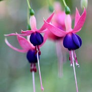 'Chillerton Beauty' is a vigorous, erect, mid-sized deciduous shrub with small, leathery dark-green leaves.  It bears single flowers with green-tipped, pale-pink tubes and sepals and magenta petals with red veins in summer and autumn. Fuchsia 'Chillerton Beauty' added by Shoot)