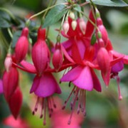 'Display' is a small, upright, deciduous shrub with dark-green leaves.  It bears single flowers, the tube and recurved sepals deep-pink, and the petals rose-pink in summer and autumn. Fuchsia 'Display' added by Shoot)