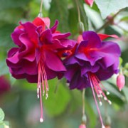 'Royal Velvet' is a vigorous, upright, mid-sized, deciduous shrub with dark-green leaves.  In summer and autumn it bears double flowers with crimson tube and sepals, and deep-purple petals, marked with red. Fuchsia 'Royal Velvet' added by Shoot)