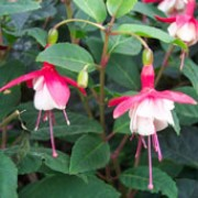 'Snowcap' is a vigorous, upright, mid-sized, deciduous shrub with small, dark-green leaves.  In summer and autumn it bears semi-double flowers with scarlet tube and sepals and white petals with red veins. Fuchsia 'Snowcap' added by Shoot)
