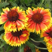 'Goblin' is a dwarf perennial  (often grown as an annual) with narrow leaves and large, bright red-orange, daisy-like flower-heads with yellow tips in summer and autumn. Gaillardia 'Goblin' added by Shoot)