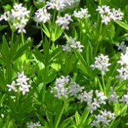 G. odoratum is a vigorous mat-forming perennial with whorls of bright green, lance-shaped leaves and clusters of small white, starry flowers from late spring. Galium odoratum added by Shoot)
