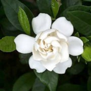 Gardenia jasminoides added by Shoot)