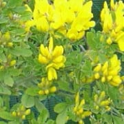 'Porlock' is a semi-evergreen, mid-sized shrub with small,  green leaves and fragrant, bright-yellow flowers in spring. Genista 'Porlock' added by Shoot)