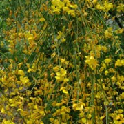 Genista aetnensis added by Shoot)