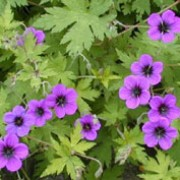 'Ann Folkard' is a herbaceous perennial with yellowish-green leaves and black-eyed, magenta-purple flowers in summer and autumn. Geranium 'Ann Folkard' added by Shoot)